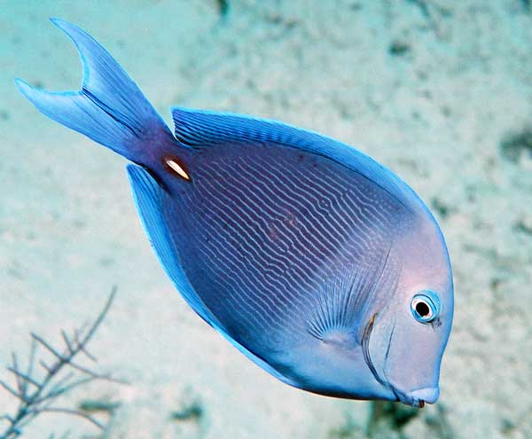 blue tang fish underwater photo