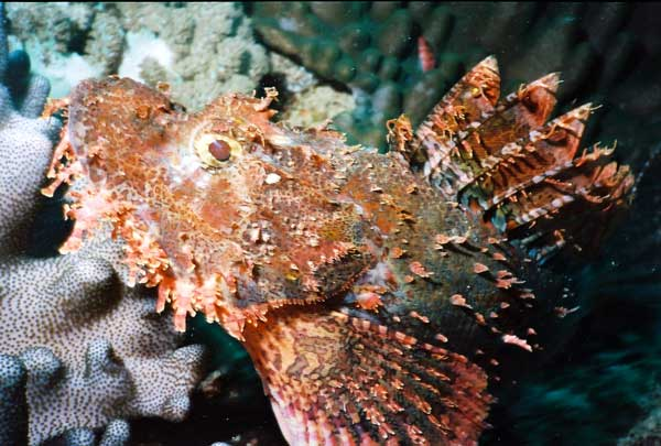 scorpion fish Kenya Underwater SCUBA Kenya Indian Ocean