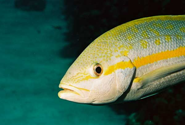 yellow tail snapper fish in Cayman Islands